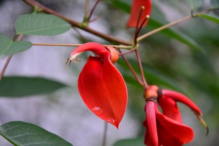 erythrina: Erythrina variegata