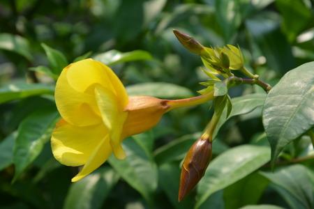 cigarra: Cigarra amarilla Pequeño Foto de archivo