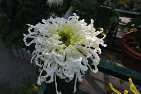 varieties: Chrysanthemum varieties Stock Photo