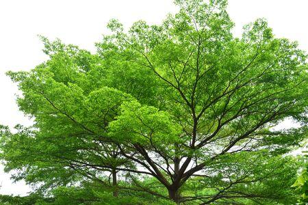 banyan: Banyan trees
