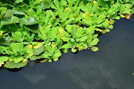 duckweed: Hawthorn duckweed plants