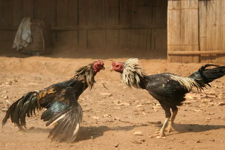 peck: Two cocks fighting on a patch of dry dirt, dust and feathers filling the air. Stock Photo