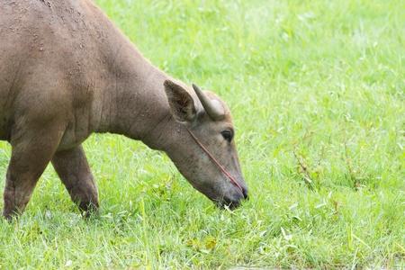 buffalo grass: Buffalo in grass field