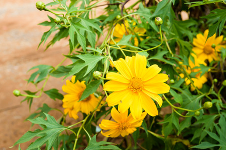 tree marigold: Mexican sunflower, Tithonia diversifolia, Tree marigold