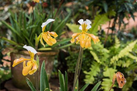 paphiopedilum: Yellow orchid, Beautiful Paphiopedilum, Paphiopedilum villosum of Thailand (Gratrixianum Guillaumin)