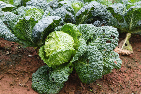 winter garden: Savoy cabbage in the organic winter garden, Chiang Mai Province Thailand