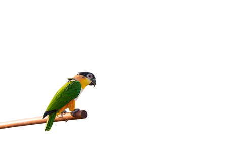 mccaw: Beautiful and colorful parrot on isolated Stock Photo
