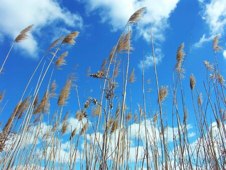 herbage: Dry grass streching towards the sky  Stock Photo