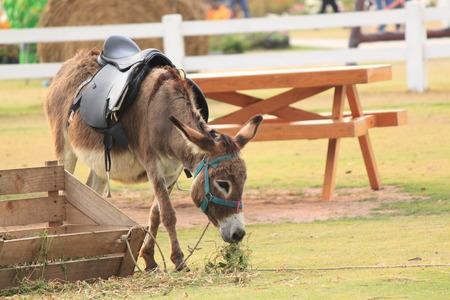 grosse fesse: mule Banque d'images