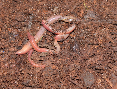 earthworms: Earthworms on compost