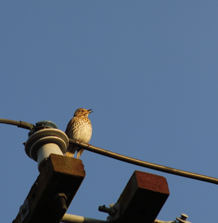 thrush: Song thrush on the wire Stock Photo