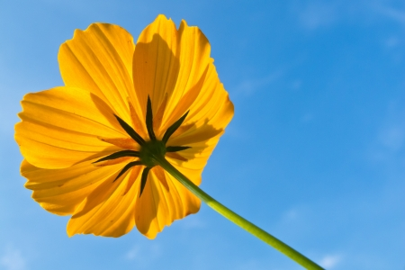close up yellow flower with blue sky Stock Photo - 16975736