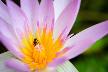 Bee in a pink lotus photo