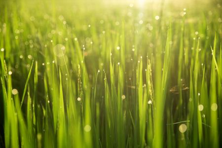 arroz: Campo de arroz con cáscara en el fondo de la mañana