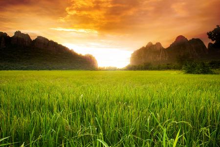 rice: Campo de arroz con cáscara en el fondo de la mañana