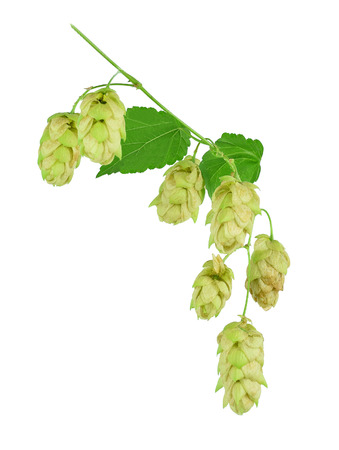 Hop cones and leaves, isolate on white background without shadows. Close-up. Ingredients Brewing. Natural Medicine. Healing herbs.