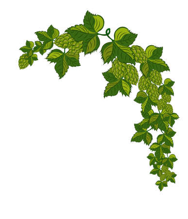 Green hop plant, sketch style vector illustration isolated on white background. Realistic hand drawn ripe green hop cones, beer brewing ingredient.Vector illustration. Vecteurs