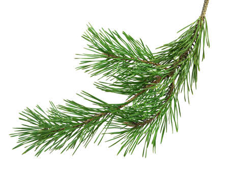 pine branch, close-up, isolated on a white background without a shadow. Nature in details. Winter festive decor.