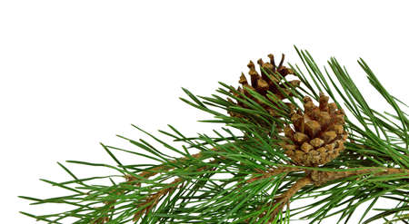 pine twig with cones, isolated on white, without a shadow. The beauty of nature in detail. Christmas decor. New Year. Zdjęcie Seryjne
