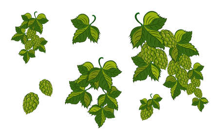 Green hop plant, sketch style vector illustration isolated on white background. Realistic hand drawn ripe green hop cones, beer brewing ingredient.Vector illustration.