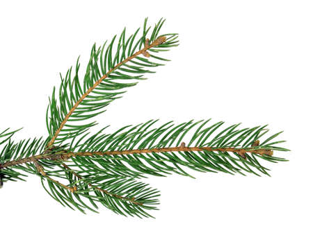 fir-tree / fur / branch, close-up, isolated on a white background without a shadow. Nature in details. Winter festive decor.