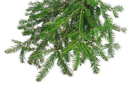 Fir twig, isolated on white, without a shadow. The beauty of nature in detail. Christmas decor. New Year.