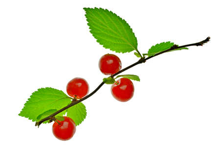 branch of Chinese cherry with red berries. Nature. Summer, vitamins. Organic food. isolated without a shadow. Close-up. Zdjęcie Seryjne