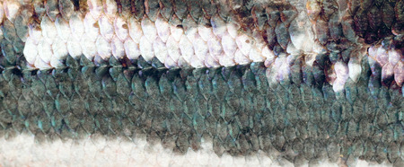 rutilus: Real Roach Fish Scales Background Stock Photo