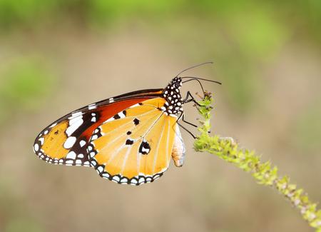 nectar: Butterfly sucking nectar on flower. Stock Photo