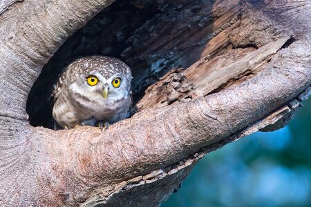 owlet: Spotted Owlet in nature cavity Stock Photo