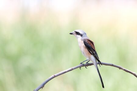 atrapar: respaldado por la bah�a de palo de captura Alcaud�n en la naturaleza