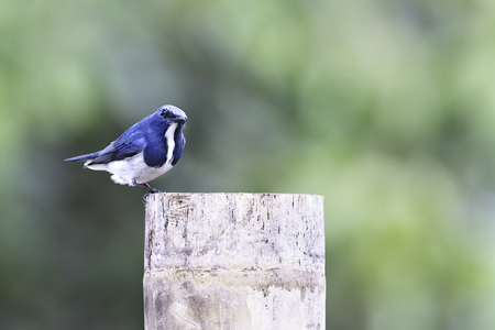 migrated: Ultramarine Flycatcher migrated to Thailand in nature