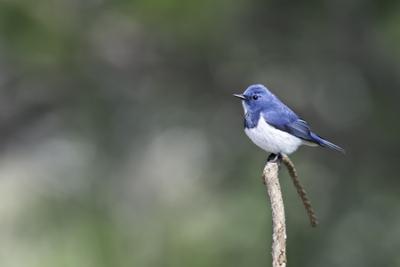 migrated: Ultramarine Flycatcher migrated to north of Thailand in nature Stock Photo
