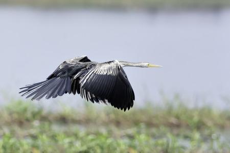 natue: Oriental Darter flying over natue marsh