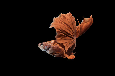 clipping: Red Siamese Fighting Fish on black background with clipping path
