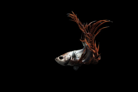 aquatic life: Crown tail Siamese Fighting Fish dancing on black background Stock Photo