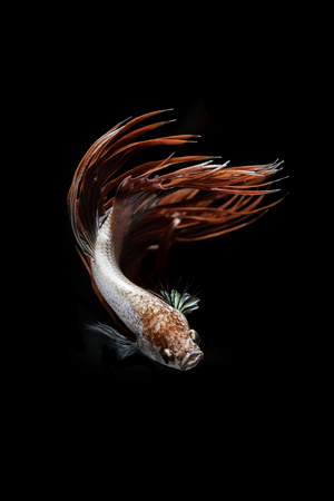 crown tail: Crown tail Siamese Fighting Fish dancing on black background Stock Photo