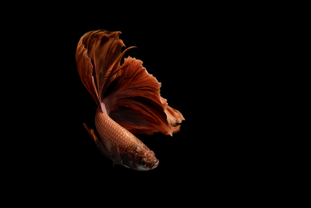 aquatic life: Red Siamese fighting fish dancing on black background