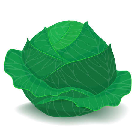 a head of  fresh cabbage