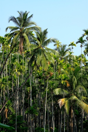 Palm forest in South India.