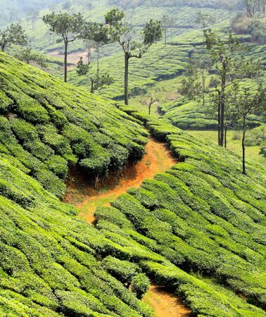 tea estates: tea plantation valley in india Stock Photo