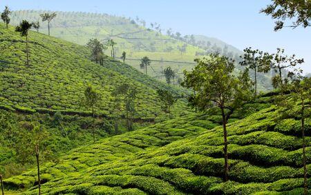 tea plantation valley in india Stock Photo