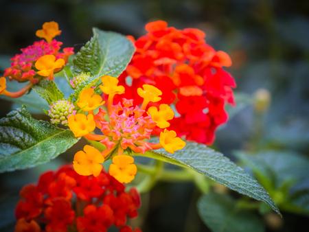 Close-up photos, Bright colors of the flowers.  Lantana camara colorful Flower