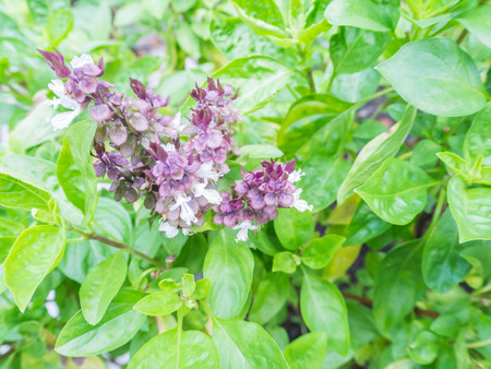 Characteristics of sweet basil, Basil plants are widely used as ingredients in cooking.