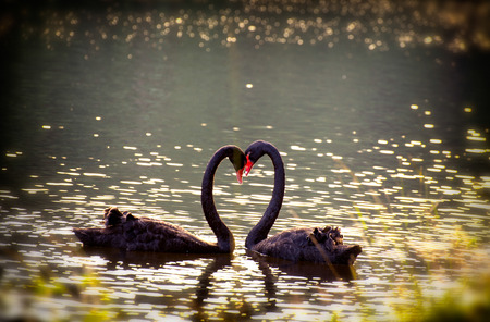 swans in love together  background at pang ung meahongson  thailand photo