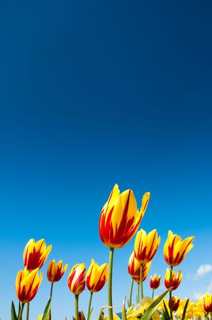 Red and Yellow flowering tulips growing in spring and surrounded by yellow and purple flowers. Photographed against a bright blue summer sky. Stock Photo