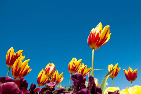 resilient: Red and Yellow flowering tulips growing in spring and surrounded by yellow and purple flowers. Photographed against a bright blue summer sky. Stock Photo