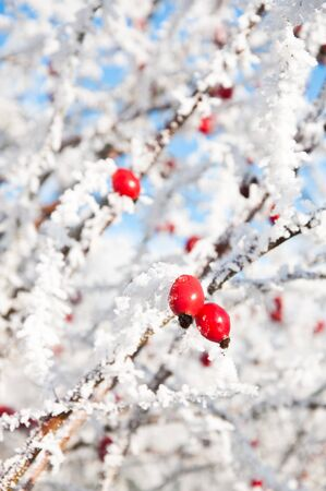 Bright red rosehip berries covered in frost on a bright winter day. photo