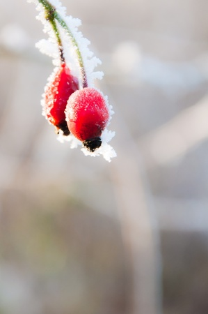 Bright red rosehip berries covered in frost on a bright winter day. Stock Photo
