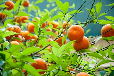 Bunches of ripe oranges growing wild